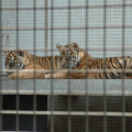 Wilhelma -- Sumatra-Tigerjunge