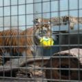 Wilhelma -- Sumatra-Tiger mit Jungen