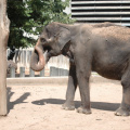 Wilhelma -- Elefant