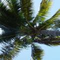Mauritius -- Palme