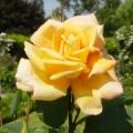 Bodensee -- Rose
