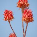 Santorin -- Rote Blüten