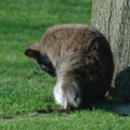 Karlsruher Zoo -- Känguruh
