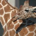 Karlsruher Zoo -- Kuschelnde Giraffen...