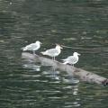 Vancouver Island - Whale Watching -- Wasservögel - schwimmen ohne nass zu werden :-)