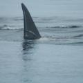 Vancouver Island - Whale Watching -- Orca, Schramme an der Rückenflosse