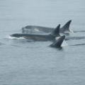 Vancouver Island - Whale Watching -- Orcas - Orcas