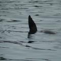 Vancouver Island - Wildlife Tour -- Seehund, der sich wie ein Wal verhält :-)