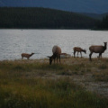 Jasper National Park -- Herde Wapiti-Hirschkühe am Pyramid Lake