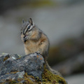 Banff National Park -- Streifenhörnchen