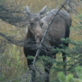 Banff National Park -- Elchkuh