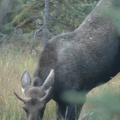 Banff National Park -- Junger männl. Elch