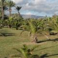Gran Canaria -- Palmen