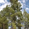 Gran Canaria -- Bäume im Hochland