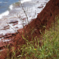 Prince Edward Island -- Rote Klippen