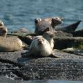 Lunenburg -- Seehunde auf der Bootstour