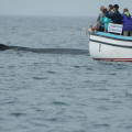Digby Neck -- Whale Watching - Buckelwal