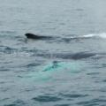 Digby Neck -- Whale Watching - Buckelwalpärchen