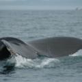 Digby Neck -- Whale Watching- Schwanzflosse perfekt gezeigt!