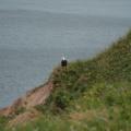 Cape Breton Island -- Weißkopfseeadler