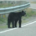 Cape Breton Island -- Kleiner Schwarzbär