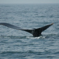 Digby Neck -- Whale Watching - Buckelwal ganz nah